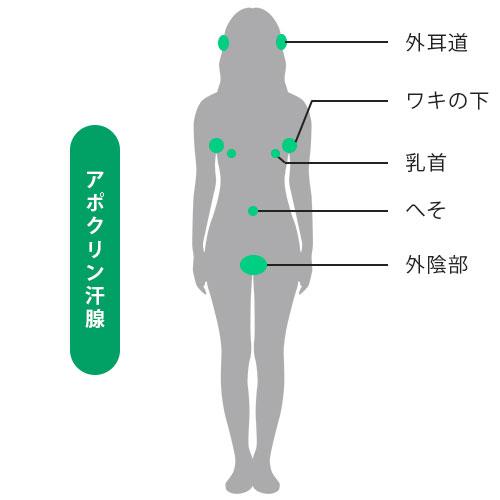 アポクリン腺分布